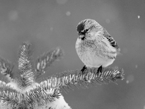 snow, Bird, conifer
