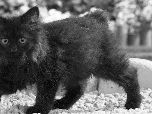 kitten, Norwegian Forest Cat, Black