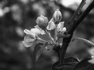 apple-tree, Spring, Buds, Wild, Pink