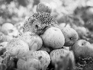 hedgehog, apples