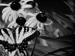 butterfly, Oct Queen, Flowers, Rudbeckia, Yellow