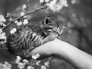 hand, sleepy, flourishing, Twigs, Spring, kitten