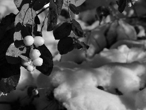 Fruitbodies, twig, water, snow, drops, Symphoricarpos Duhamel