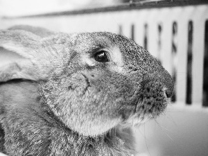 Rabbit, Grey, Fur, ears