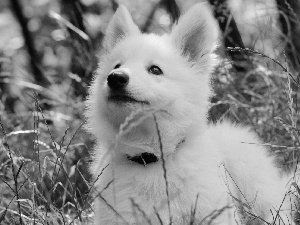 Samojed, Meadow, grass, Puppy