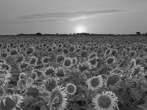 Teksas, Field, sunflowers