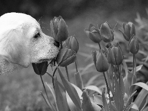 Tulips, dog, Red