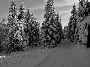 winter, forest, Way, Spruces