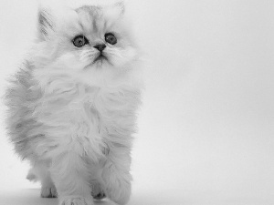 Persian Cat, fluffy, White