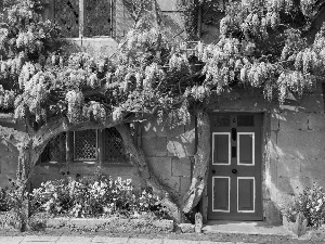 Wisteria, house, Flowers