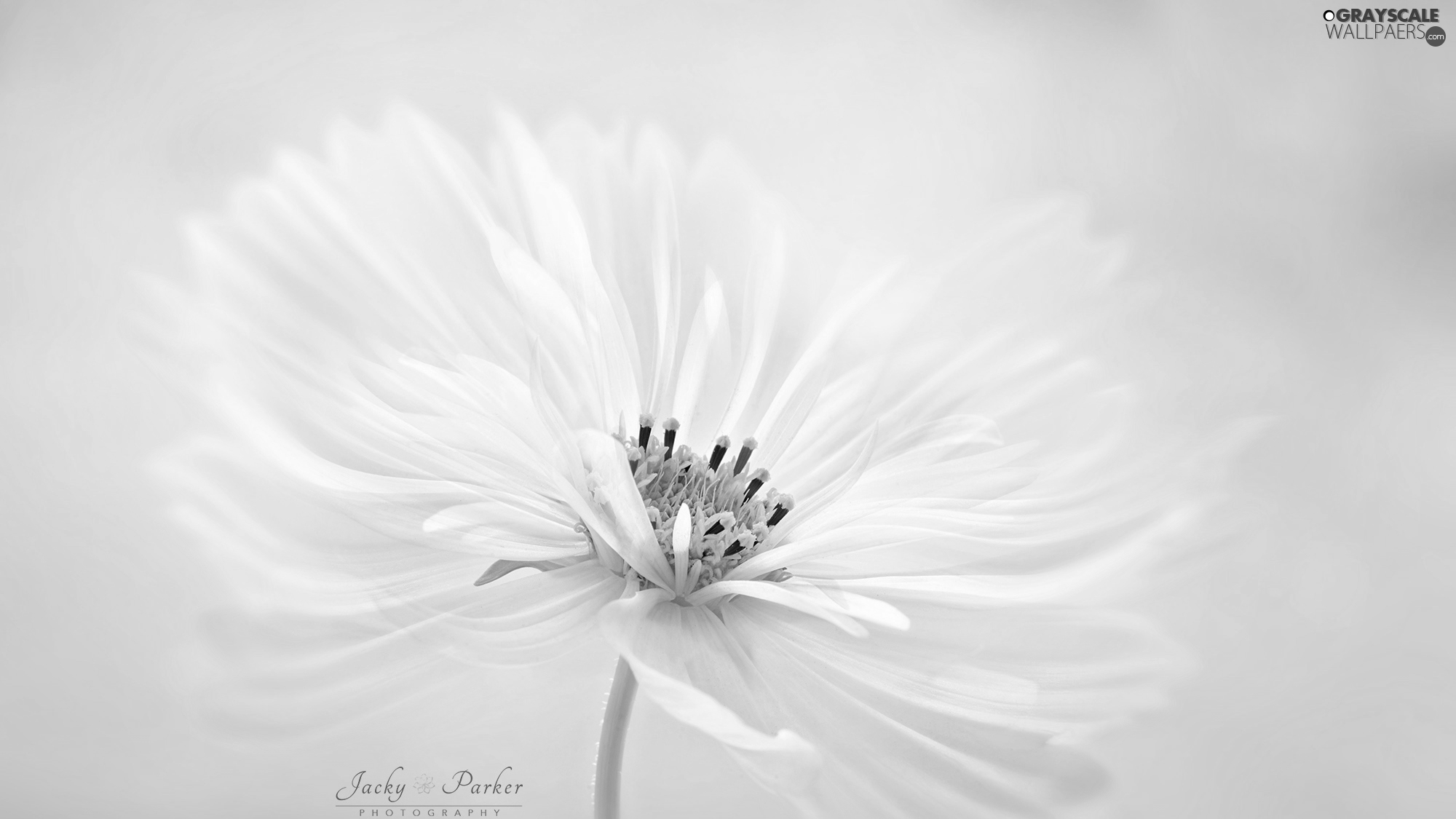 White, Cosmos, Close, Colourfull Flowers