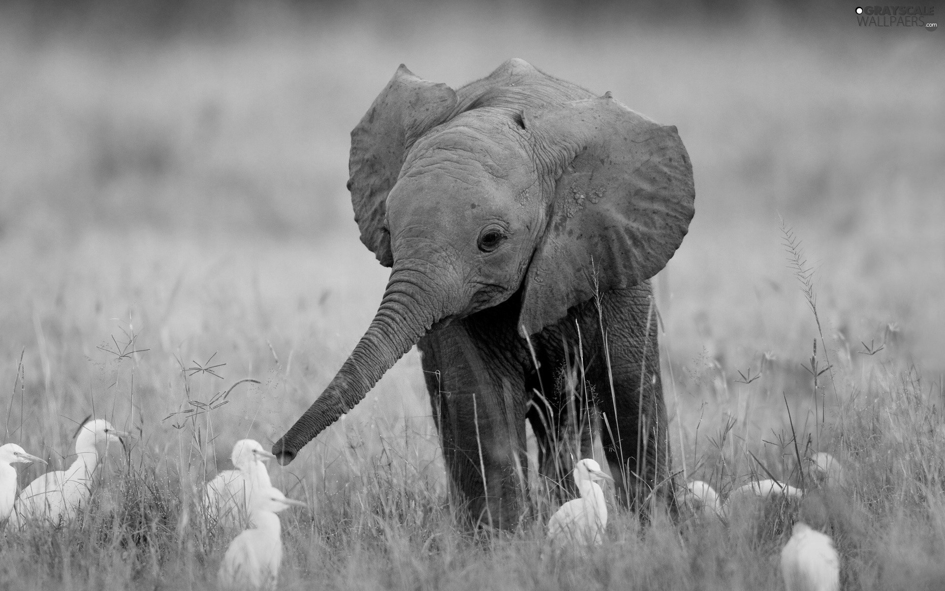 Grayscale Grass Young Elephant