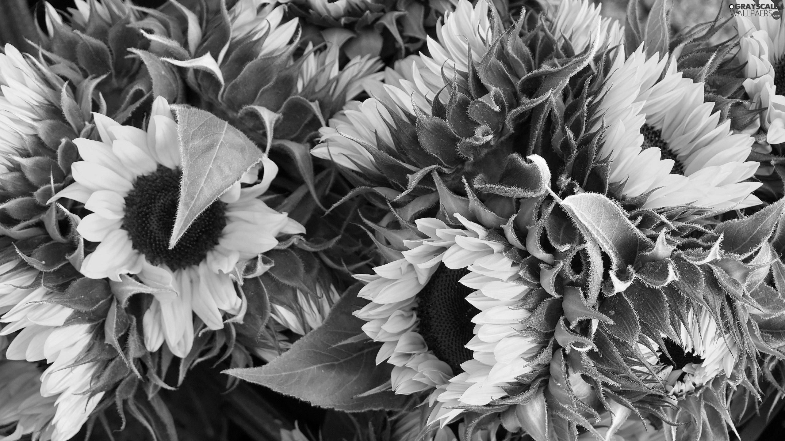 Leaf, developed, Nice sunflowers